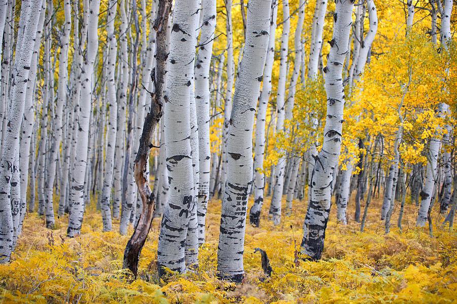 Aspen Tree Paintings